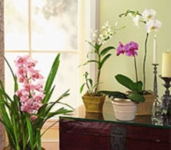 Orchid Plants in New York NY, CitiFloral Inc.