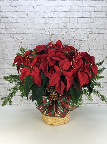Dressed Poinsettia: 10 inch pot in Chicagoland IL, Amling's Flowerland