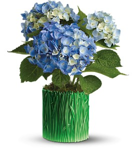 Teleflora's Grass is Greener Blue Hydrangea in Daly City CA, Mission Flowers
