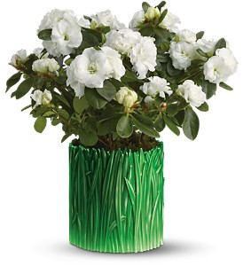 Teleflora's Grass is Greener White Azalea in Daly City CA, Mission Flowers