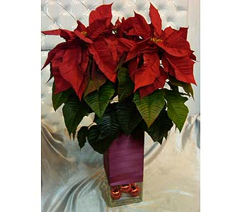 Magnificent Poinsettia in Santa Monica CA, Santa Monica Florist