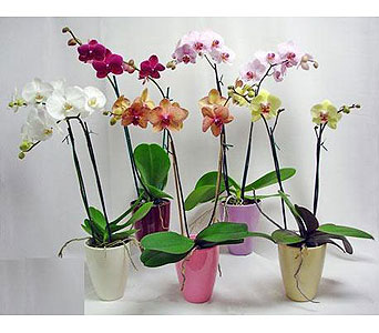 Ms. Scarlett''s Orchid Plants in Bradenton FL, Ms. Scarlett's Flowers & Gifts