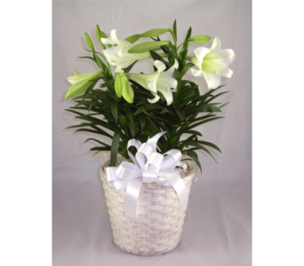 Double Stem Easter Lily in Naples FL, Naples Flowers, Inc.