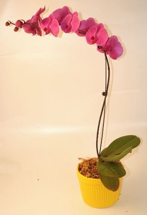 Phaleonopsis Orchid Plant in Salisbury MD, Kitty's Flowers