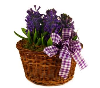 Spring Hyacinth Basket in Indianapolis IN, McNamara Florist