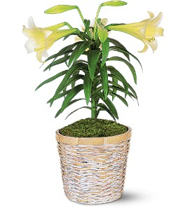 Easter Lily Plant in Largo FL, Rose Garden Flowers & Gifts, Inc