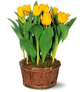 Potted Yellow Tulips in Newton KS, Designs By John Flowers & Tuxedos, Inc