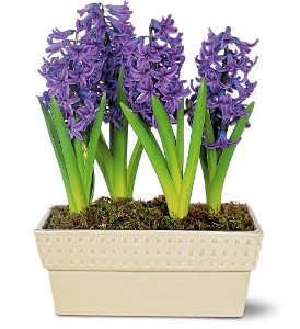 Hyacinth Planter in Chicago IL, Chicago Flower Company