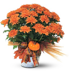 Bronze Cushion Mum Plant in Schaumburg IL, Deptula Florist & Gifts, Inc.