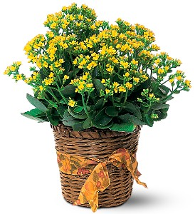 Vivid Yellow Kalanchoe Plant in Fairfield CT, Town and Country Florist