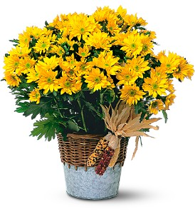 Harvest Yellow Daisy Plant in Ajax ON, Reed's Florist Ltd