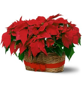 Double Poinsettia Basket in South Haven MI, The Rose Shop