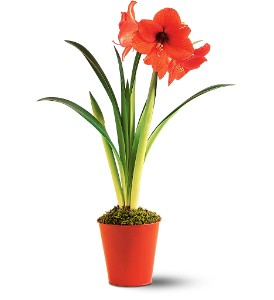 Amaryllis Plant in San Francisco CA, Fillmore Florist