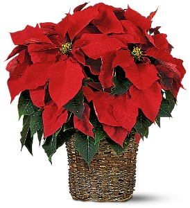 6 inch Poinsettia in Georgetown ON, Vanderburgh Flowers, Ltd