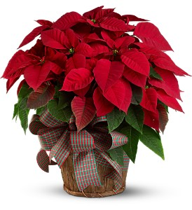 Large Red Poinsettia in Bakersfield CA, White Oaks Florist