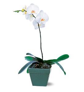 Phalaenopsis Orchid Plant in New York NY, Embassy Florist, Inc.