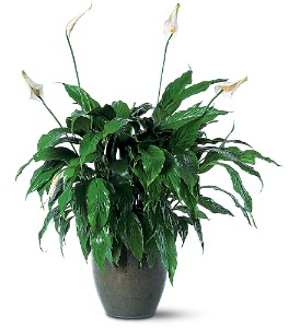 Spathiphyllum Plant in Derry NH, Backmann Florist