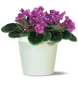 Purple African Violet in Imperial Beach CA, Amor Flowers