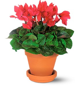 Sensational Cyclamen in Etobicoke ON, Alana's Flowers & Gifts