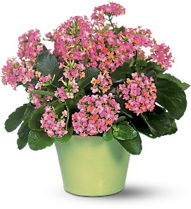 Pink Kalanchoe in Arlington Heights IL, Sylvia's - Amlings Flowers