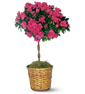 Azalea Topiary in Washington DC, Palace Florists