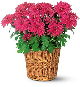 Chrysanthemum in Dallas TX, Petals & Stems Florist