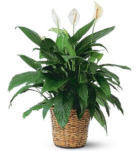 Large Spathiphyllum Plant in Durham NC, Flowers By Gary