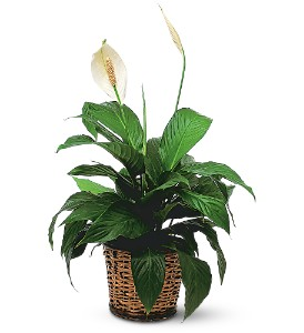 Small Spathiphyllum Plant in Bandera TX, The Gingerbread House
