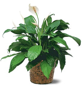 Medium Spathiphyllum Plant in Owasso OK, Art in Bloom