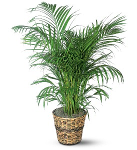 Areca Palm in Hot Springs AR, Johnson Floral Co.