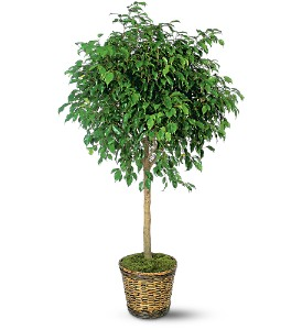 Ficus Tree in Largo FL, Rose Garden Flowers & Gifts, Inc