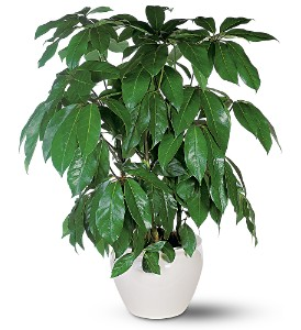 Schefflera in Fort Lauderdale FL, Brigitte's Flower Shop