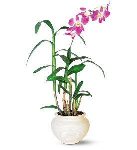 Dendrobium Orchid in Gautier MS, Flower Patch Florist & Gifts