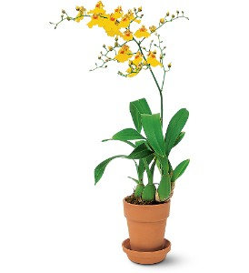 Yellow Oncidium Orchid in Lewisville TX, D.J. Flowers & Gifts
