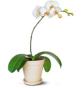 White Phalaenopsis Orchid in Fairfield CT, Hansen's Flower Shop and Greenhouse