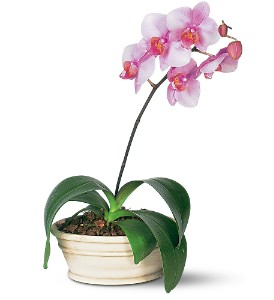 Lavender Phalaenopsis Orchid in Largo FL, Rose Garden Flowers & Gifts, Inc