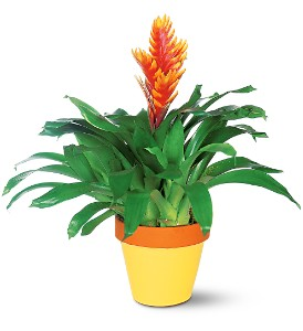 Exotic Bromeliad in Etobicoke ON, Alana's Flowers & Gifts