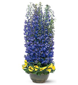 Distinguished Delphinium in Tustin CA, Saddleback Flower Shop