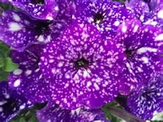 10inHangingBasket:Petunia, Night Sky in Waukegan IL, Larsen Florist