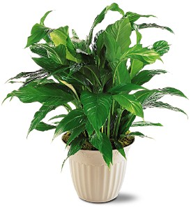Spathiphyllum Plant in Groves TX, Sylvia's Florist And Gifts