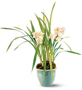 White Orchid Plant in Hendersonville TN, Brown's Florist