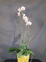 White phalaenopsis orchid in Chapel Hill NC, Floral Expressions and Gifts