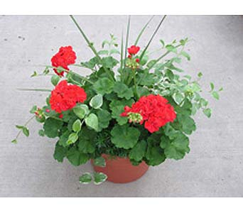 Geranium Patio Pot in Big Rapids, Cadillac, Reed City and Canadian Lakes MI, Patterson's Flowers, Inc.