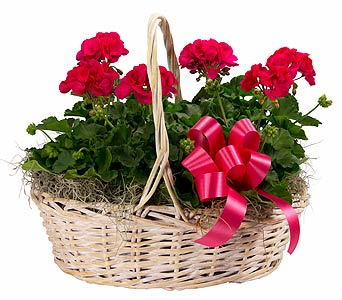 6 Geraniums in a Basket in Towson MD, Radebaugh Florist and Greenhouses