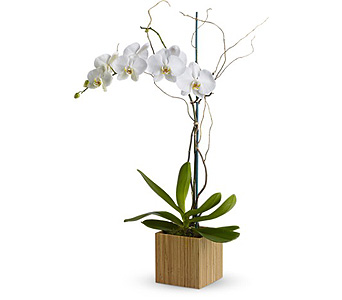 Orchid Plant in Bellevue WA, CITY FLOWERS, INC.