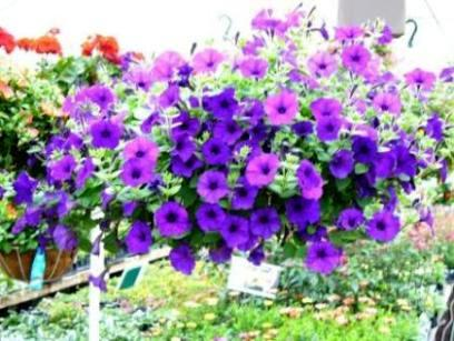Petunia Hanging Basket in Fond Du Lac WI, Haentze Floral Co
