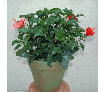 Hibiscus plant in Terra Cotta Pot in Northfield MN, Forget-Me-Not Florist