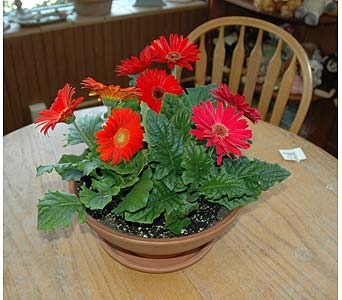 Asstorted Gerbera Plants in Terra Bowl & Saucer in Northfield MN, Forget-Me-Not Florist