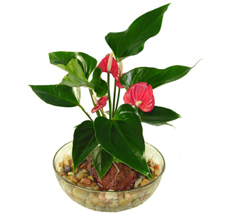 Hawaiian Volcano Red Anthurium in Baltimore MD, Raimondi's Flowers & Fruit Baskets