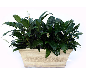 Luxury Collection Peace Lily in Norristown PA, Plaza Flowers